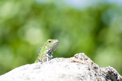 Young Iguana. Young green iguana on granite rock Royalty Free Stock Image
