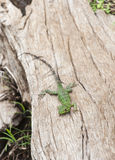 Young Iguana on Driftwood Royalty Free Stock Photos
