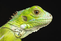 Young Iguana Head Shot royalty free stock photo