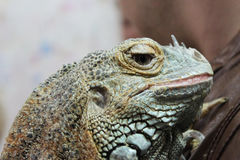 Young Iguana iguana male is sitting on a hand during the exhibition. Royalty Free Stock Photo