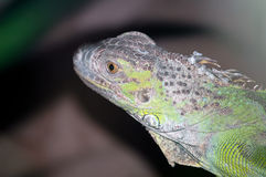 Young iguana Stock Photo