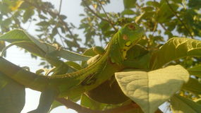 Young iguana. Reptile that lives in tropical zones. Mostly it is passed in the trees and consumes some leaves and fruits like the mango Stock Photos