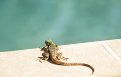 Young Iguana Rests by Pool Stock Images