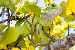 Young Iguana in a Sea Grape Tree. Close up detail of an Iguana (Iguana iguana) in a Sea Grape Tree on Palm Island, Saint Vincent and the Grenadines Stock Image