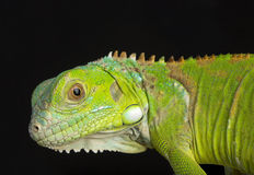 Young Iguana stock photos