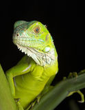 Young Iguana royalty free stock images