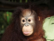 Young immature Orangutan with man Stock Photos