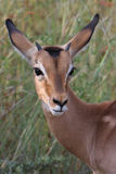 Young impala. Portrait with attentive pose; Aepyceros melampus; South Africa stock photography