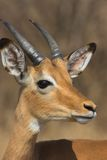 Young Impala. Portrait of a young Impala male with developing horns Stock Images