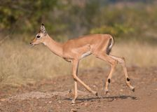 Young impala. Running across a dirt road Royalty Free Stock Photography