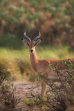 Young impala Royalty Free Stock Image