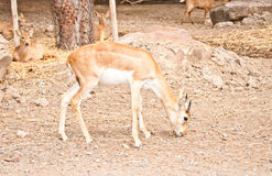 Young Impala. A young Impala in an open zoo Royalty Free Stock Photography