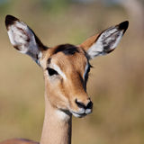 Young Impala Royalty Free Stock Photos