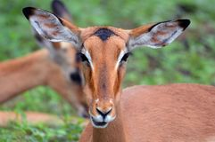 Young Impala [Aepyceros melampus] Stock Photos