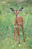 Young impala (Aepyceros melampus) Royalty Free Stock Photo