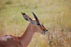 Young impala (Aepyceros melampus) Royalty Free Stock Photos