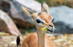 Young impala antelope Stock Image