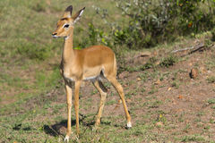 Young impala antelope Royalty Free Stock Images