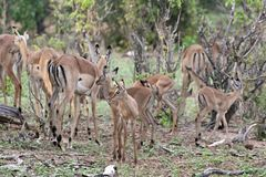 Young Impala antelopes Royalty Free Stock Photo