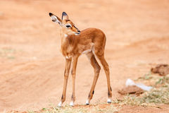 Young Impala baby stands and watching other antelopes in a game reserve Royalty Free Stock Photography