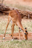 Young Impala baby stands and watching other antelopes in a game reserve Stock Photography