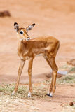Young Impala baby stands and watching other antelopes in a game reserve Royalty Free Stock Images