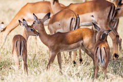 Young Impala baby stands and watching other antelopes in a game reserve, Stock Photo
