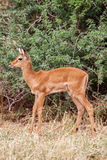 Young Impala baby stands and watching other antelopes in a game reserve Royalty Free Stock Photo