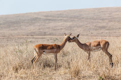 Wildlife Buck Affections Inter-Action Stock Photography