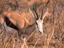 Young impala in Etosha Nationa Park Royalty Free Stock Photos