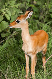 Young Impala Kid in Lush Bush Royalty Free Stock Images