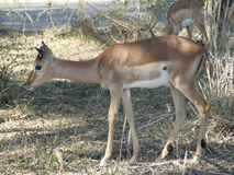 Young Impala male Stock Photography