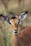 Young Impala Stock Photography