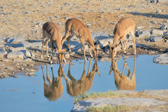 Young Impalas drinking Stock Image