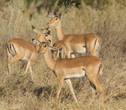 Young impalas in wild Royalty Free Stock Photos