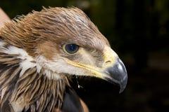 Young imperial eagle (Aquila heliaca). Portrait of a young imperial eagle Royalty Free Stock Image