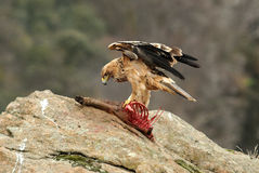 Young imperial eagle feeds into the rock. Stock Images