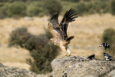 A young imperial eagle with a group of magpies Royalty Free Stock Image