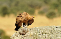 Young imperial eagle Royalty Free Stock Photos