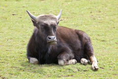 A Young Indian Bison Royalty Free Stock Photography