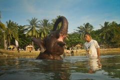 Young Indian elephant. A young Indian elephant bathing in the lagoon of Koh Chang island in Thailand stock images