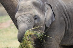 Young indian elephant Royalty Free Stock Image