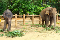 Young Indian elephant Stock Photo