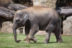 Young Indian elephant (Elephas maximus indicus). Stock Image