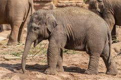 A young Indian elephant at the zoo. royalty free stock photo