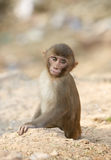 Young Indian monkey Royalty Free Stock Image
