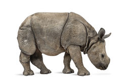 Young Indian one-horned rhinoceros (8 months old) Royalty Free Stock Images