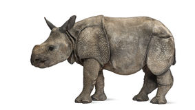Young Indian one-horned rhinoceros (8 months old) Stock Image