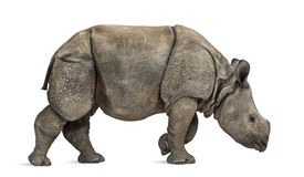 Young Indian one-horned rhinoceros (8 months old) Stock Photography