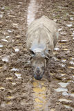 A Young Indian Rhinoceros Royalty Free Stock Photo